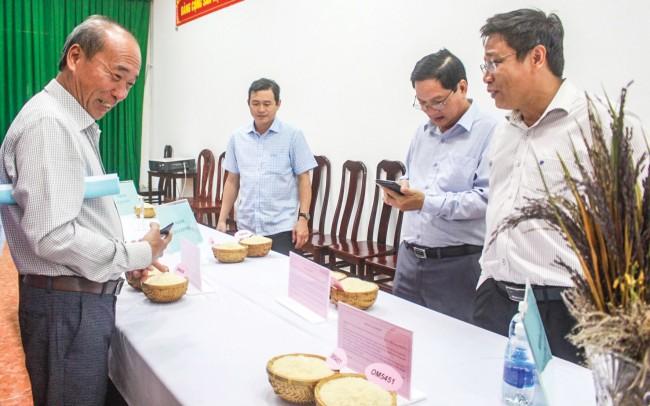 Phẩm chất hạt là một trong những yếu tố quan trọng để đánh giá khả năng chinh phục thị trường, đáp ứng yêu cầu xuất khẩu của một giống lúa. Trong ảnh: Các đại biểu tham gia đánh giá phẩm chất gạo của các giống lúa triển vọng.