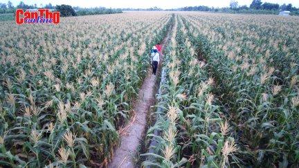 Thu nhập cao từ trồng bắp trên đất ruộng