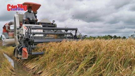 Giá lúa Thu Đông thấp nhưng nông dân vẫn có lời
