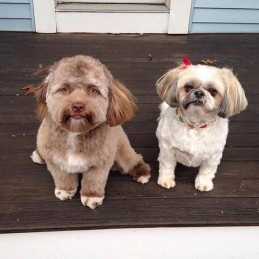 """Chú chó bỗng dưng """"nổi như cồn"""" nhờ có khuôn mặt giống người"""