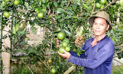 Làm giàu nhờ trồng  cam mật không hạt