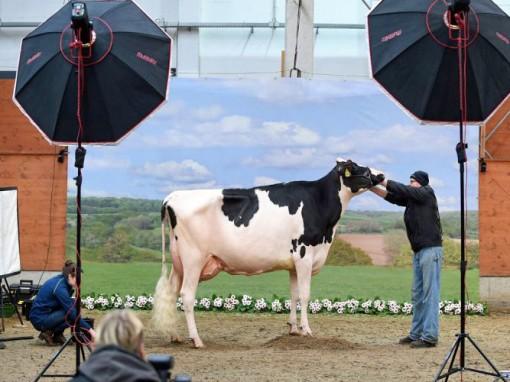 Chăm sóc bò giúp cải tạo tù nhân