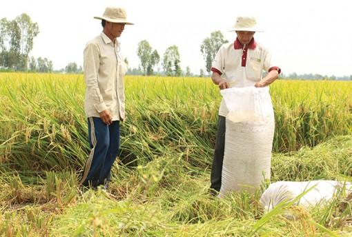 Quản lý chất lượng và hoạt động   kinh doanh giống lúa ở Nam bộ