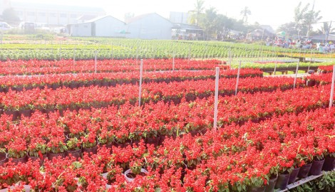 Làng hoa Sa Đéc - Điểm hút khách những ngày cận Tết