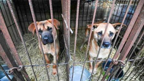 Hàn Quốc mở chiến dịch giải cứu chó