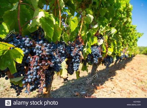 Biến đổi khí hậu tác động ngành trồng nho làm rượu vang