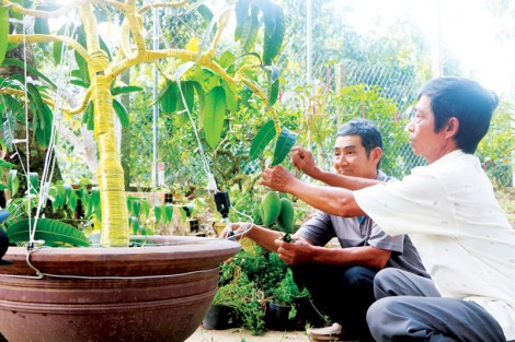 Bonsai xoài - sáng tạo  của nông dân Cao Lãnh