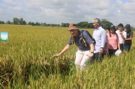 Giảm lượng sử dụng giống trong trồng lúa giúp mạng lại nhiều lợi ích thiết thực