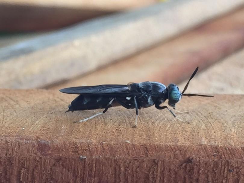 Kiếm tiền triệu mỗi ngày nhờ nuôi... ruồi