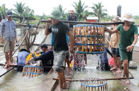 Giá cá tra nguyên liệu giảm mạnh