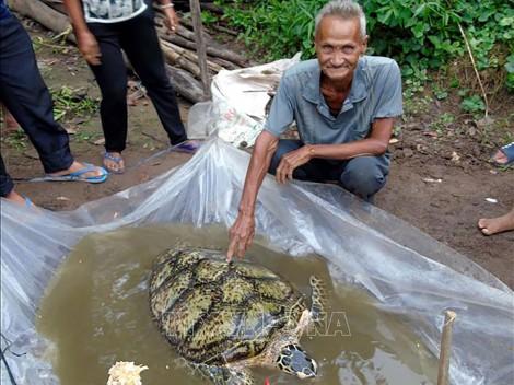 Sóc Trăng: Bắt được rùa biển lớn trong sông nước ngọt
