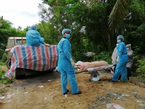 Hướng dẫn tiêu huỷ heo bị bệnh tả châu Phi bằng phương pháp đốt