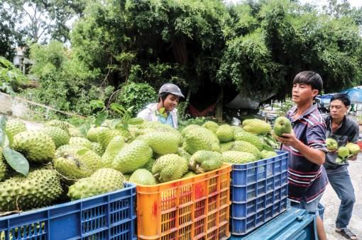Nông dân trồng mãng cầu xiêm phấn khởi  vì giá tăng