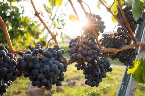 Ngành rượu vang Úc bị ảnh hưởng  bởi biến đổi khí hậu