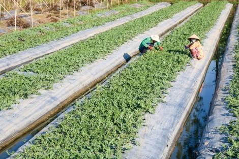 ĐBSCL: Diện tích gieo sạ lúa thu đông 2019 giảm so với cùng kỳ