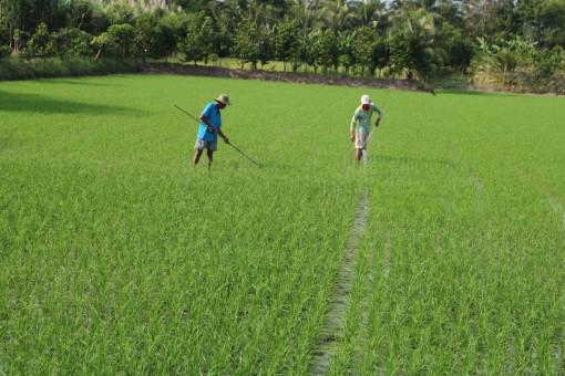 Chủ động phòng chống khô hạn, dịch bệnh trên lúa