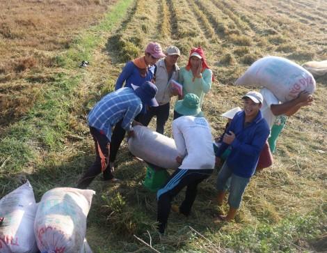 Doanh nghiệp đẩy mạnh thu mua, giá lúa bình ổn và tăng trở lại