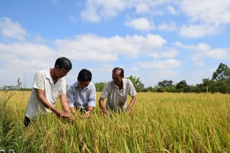 Nông dân Phong Điền được mùa lúa đông xuân
