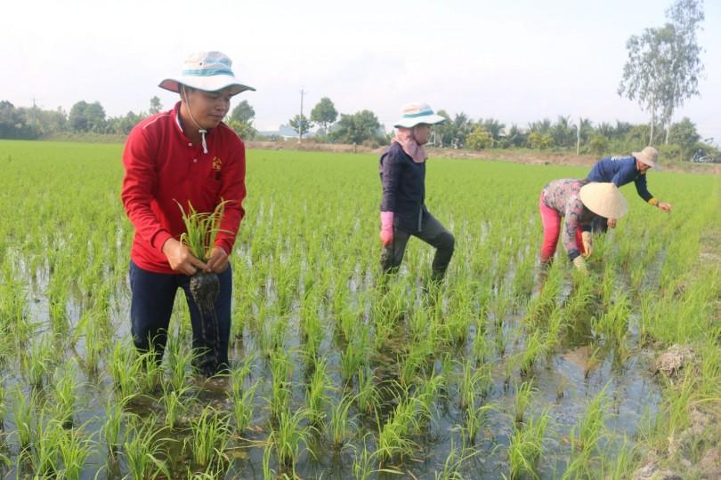 Quyết tâm sản xuất thắng lợi các vụ lúa trong năm