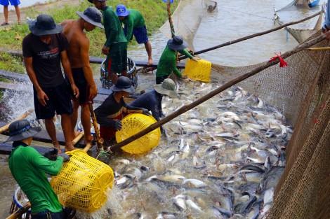 Giá cá tra xuống thấp, người nuôi không có lợi nhuận