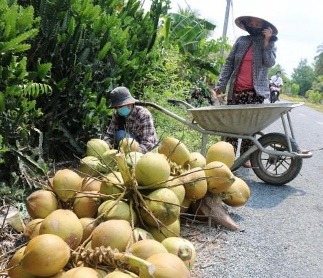 Dừa tươi hút hàng, giá tăng