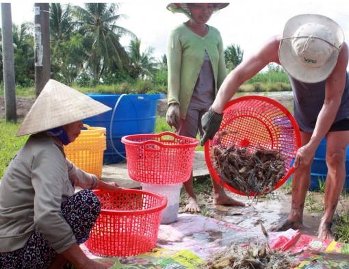 Người dân U Minh Thượng lạc quan vụ tôm trong mùa nắng hạn