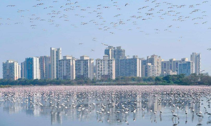 សត្វក្រៀលជាង១៥០.០០០ក្បាល ធ្វើឱ្យដៃទន្លេនៅក្រុង Mumbai ប្រែជាពណ៌ស៊ីជម្ពូ