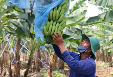 Nông nghiệp An Giang quyết tâm vượt qua thách thức từ đại dịch