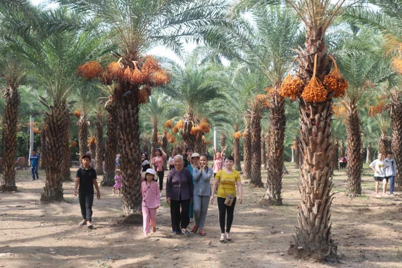 Vườn chà là trĩu quả ở Đồng Tháp thu hút khách tham quan
