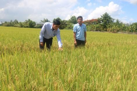 Sản xuất lúa gạo hướng đến đáp ứng nhu cầu thị trường