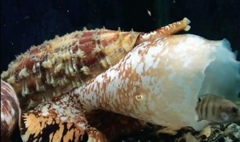 Insulin từ nọc ốc biển cải thiện khả năng điều trị tiểu đường