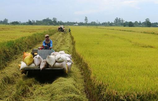 Giá lúa giảm nhẹ trở lại