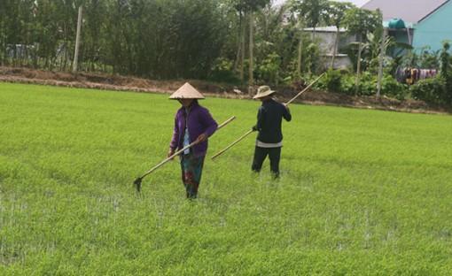 Cần Thơ đã xuống giống gieo trồng 55.130ha lúa Thu Ðông