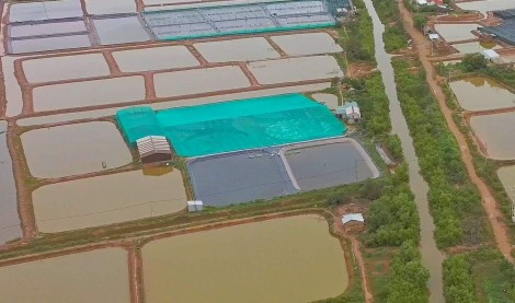 Cận cảnh thu hoạch tôm nuôi theo mô hình thích ứng với biến đổi khí hậu