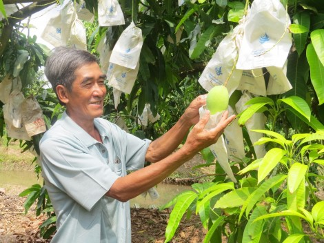 Khuyến khích trồng xoài cho trái rải vụ