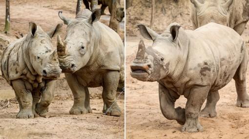 Những thú non bán hoang dã sinh ở Vinpearl Safari ngày ấy và bây giờ