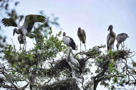Đồng Tháp: 13 loài chim quý hiếm nguy cơ tuyệt chủng cần bảo vệ