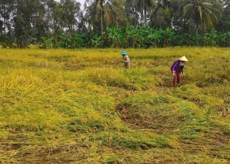 Cà Mau: Hơn 1.400ha lúa đổ ngã, đê biển bị uy hiếp