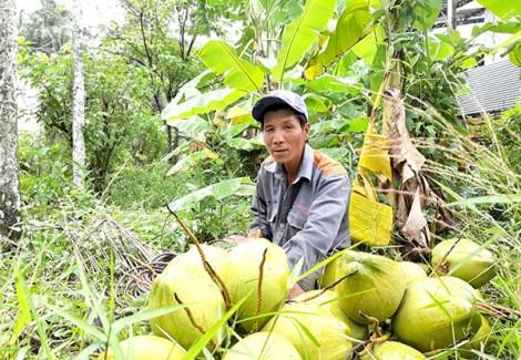 Hơn 20 năm mưu sinh trên ngọn dừa