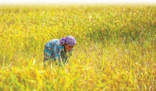 Cambodia's rice exports up 17 percent in 10 months