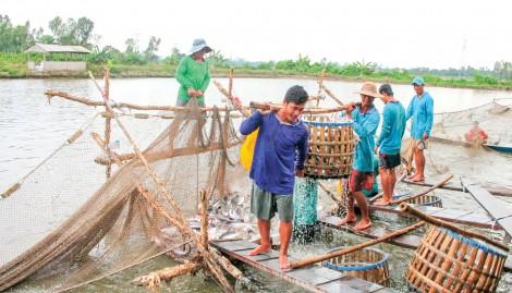 Giá cá tra nguyên liệu giảm trở lại