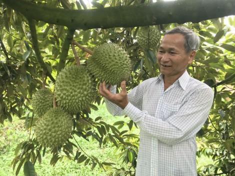 Chủ động bảo vệ vườn sầu riêng đặc sản