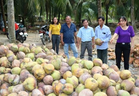 Dừa khô tăng giá từ 10.000-15.000 đồng/chục