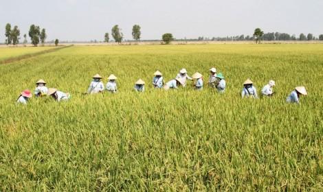 Nhân rộng mô hình sản xuất giống lúa xác nhận 1 tại ĐBSCL