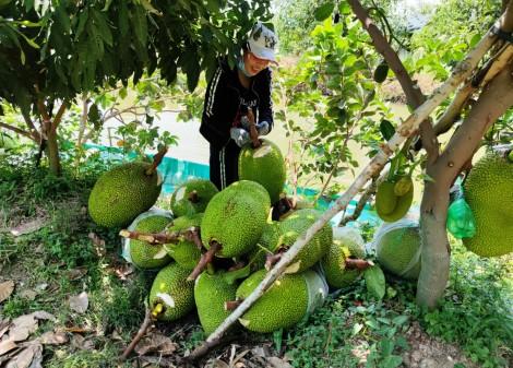 Để cây mít Thái phát huy hiệu quả lâu dài