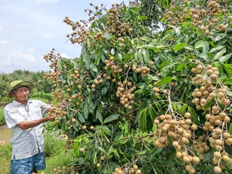 Nỗ lực kết nối cung - cầu, hỗ trợ nông dân tiêu thụ trái nhãn