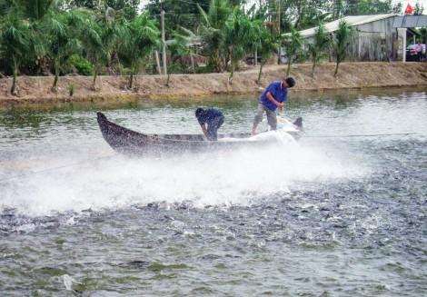 Khó tiêu thụ, giá nhiều loại cá nuôi giảm thấp