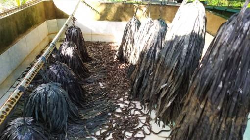 Người dân nuôi lươn gặp khó do giá giảm mạnh