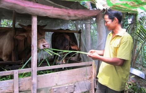 Bệnh viêm da nổi cục trên trâu, bò xuất hiện tại nhiều địa phương vùng ĐBSCL
