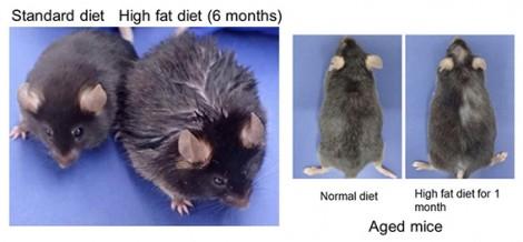 Ăn nhiều chất béo gây rụng tóc